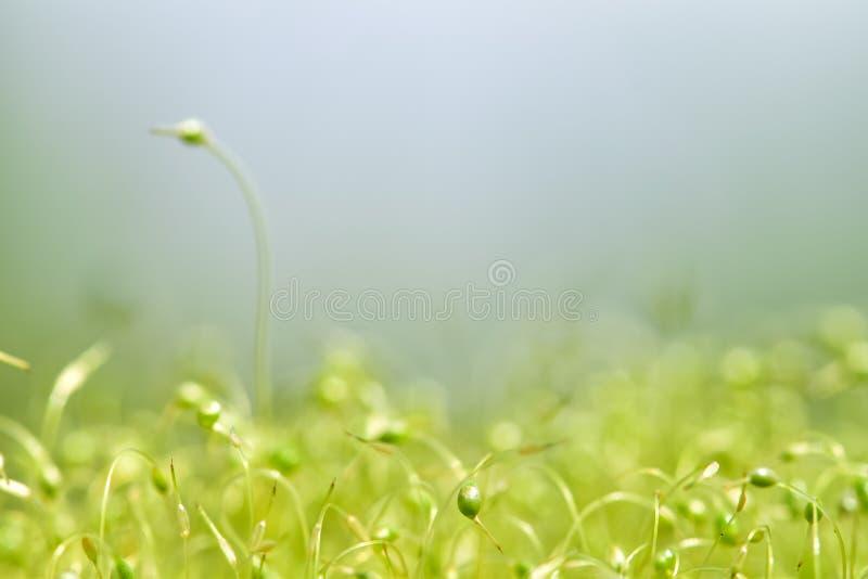 Close-up focalizado macio disparado de sementes verdes do musgo com bokeh, luz de brilho borrada foto de stock royalty free