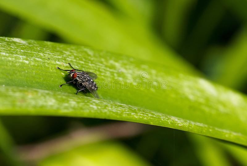 Close Up Focus Photo of a Grey and Black Fly on Green Leaf stock photos