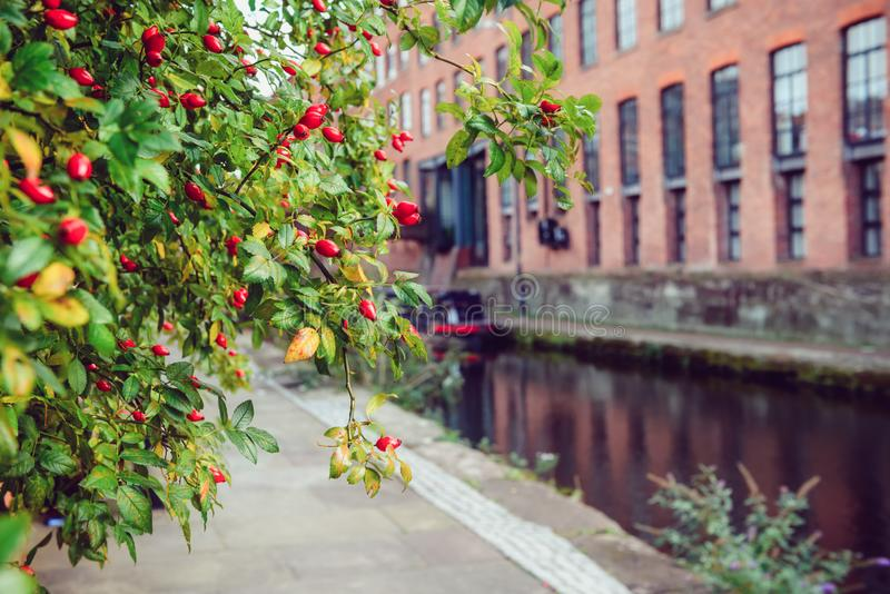 Close up focused rosehip berries with blurred building and river chanel background. Industrial city exterior landscape. Manchester stock photos