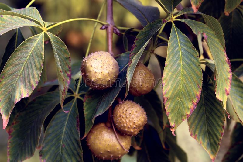 Close up on the foliage and fruits of the aesculus glabra also called ohio buckeye, american buckeye or fetid buckeye. Member of the family of Sapindaceae royalty free stock image