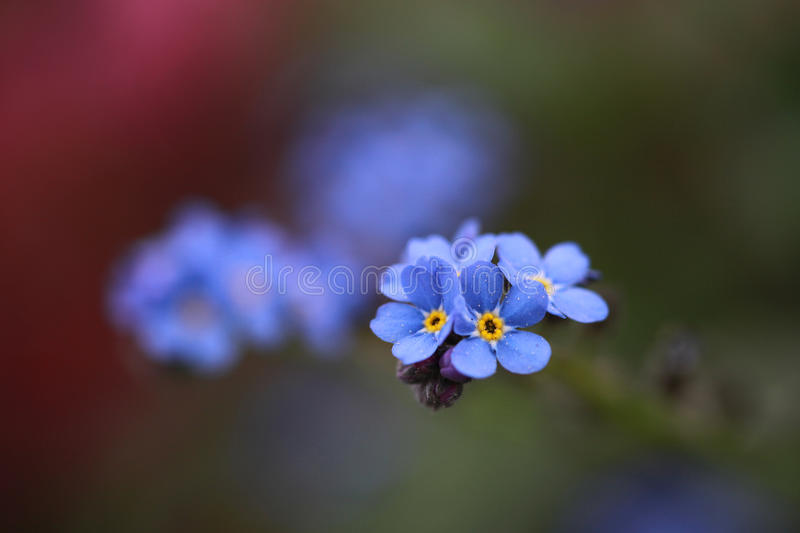 Close-up of forget-me-not flower in soft light royalty free stock photos