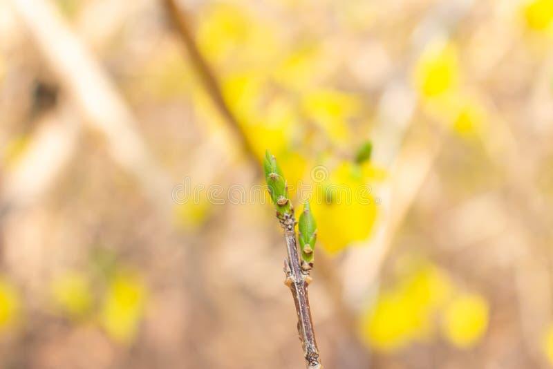 Close up of forsythia buds stock photos