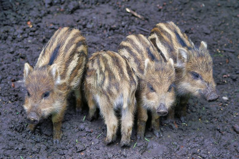 Closeup of four cute small wild boars piglets royalty free stock image