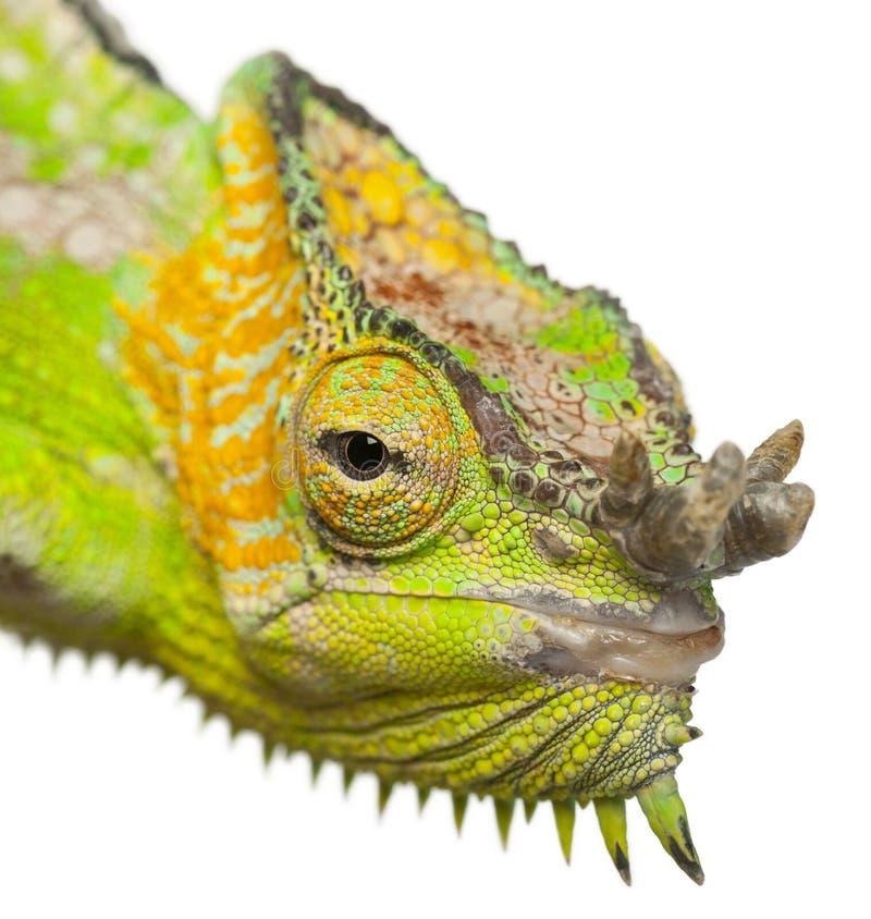 Chameleon Horns: Close-up Of Four-horned Chameleon Stock Image