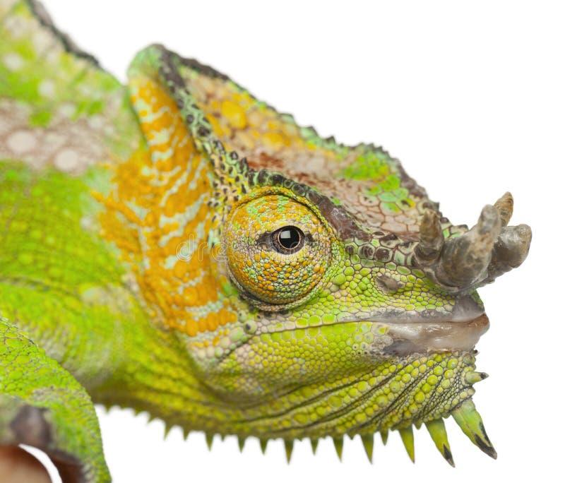Chameleon Horns: Close-up Of Four-horned Chameleon Stock Photo