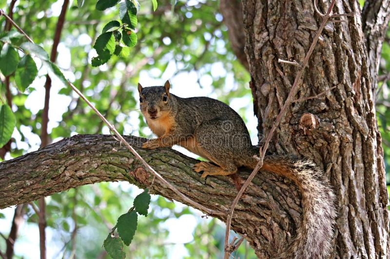 A close up of fox squirrel standing on a limb in a large oak tree. royalty free stock image