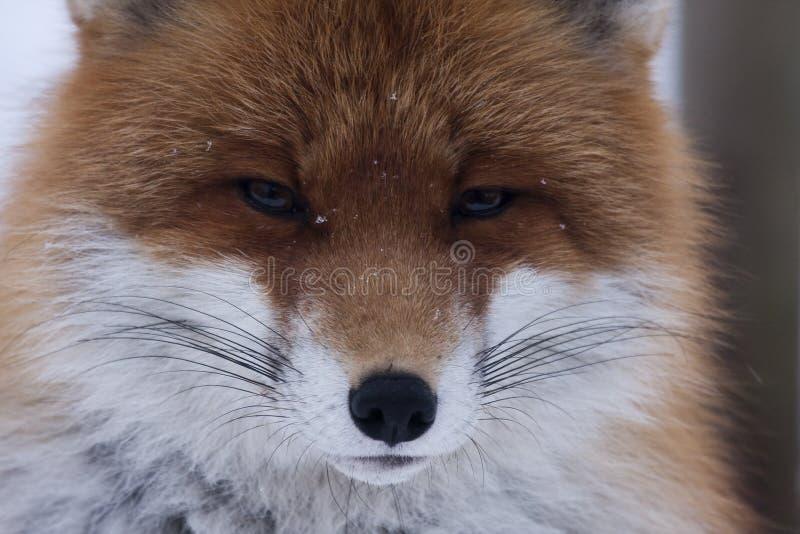 close-up-foxes-head-30008210.jpg