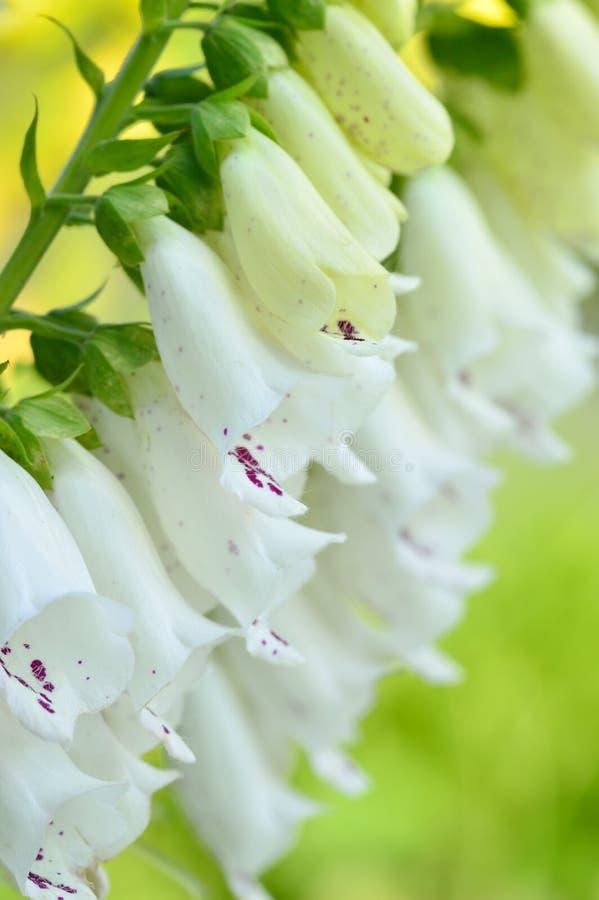 Close-up foxglove - Digitalis purpurea. Close-up white flowers of foxglove - Digitalis purpurea. Popular garden plant. Selective focus royalty free stock photography