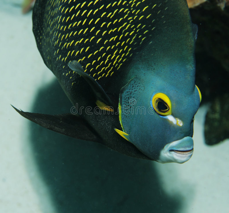 CLose-up of French Angelfish royalty free stock photo