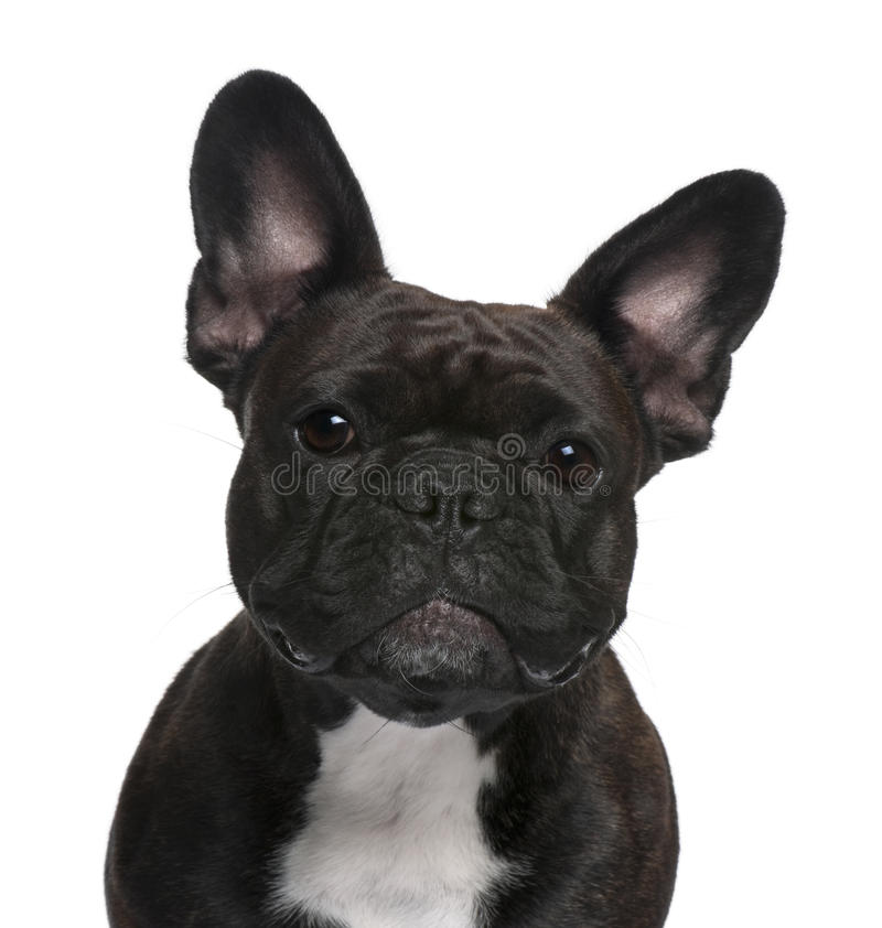 Close-up of French Bulldog, 18 months old royalty free stock photo