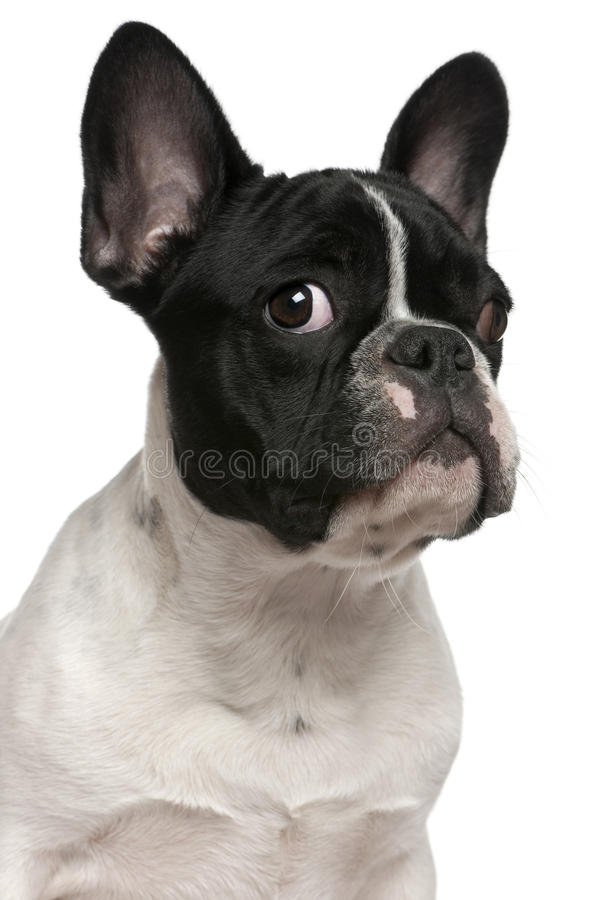 Close-up of French bulldog puppy, 5 months old stock images