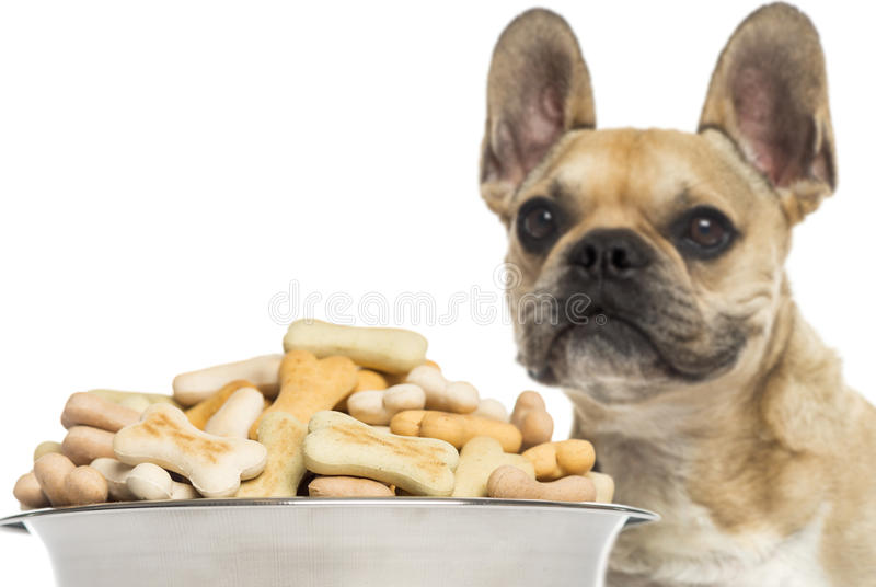 Close up of a French Bulldog, standing behind of a full dog bowl royalty free stock images