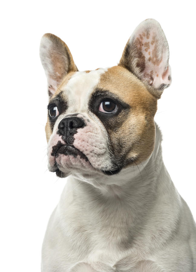 Close-up of a French Bulldog, 2 years old , isolated royalty free stock photo