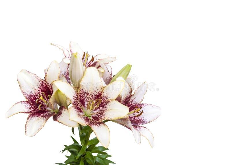 Close up fresco do buquet da flor da flor do lírio no fundo branco imagens de stock royalty free