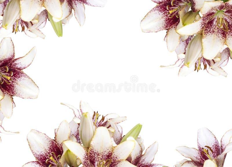 Close up fresco do teste padrão do buquet da flor da flor do lírio isolado no fundo branco fotos de stock