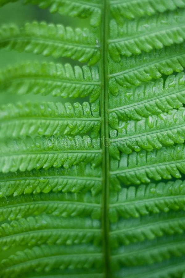 Close up of fresh bright green fern in spring with shallow depth of field stock images
