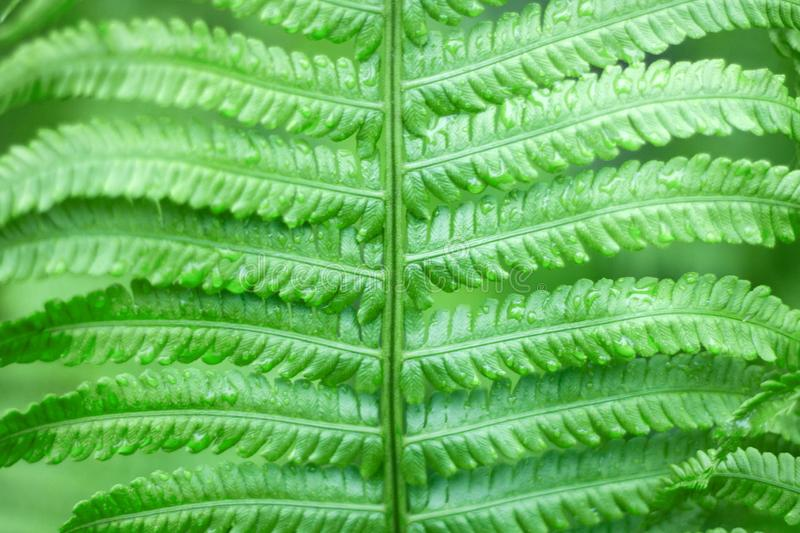 Close up of fresh bright green fern in spring with shallow depth of field royalty free stock photos