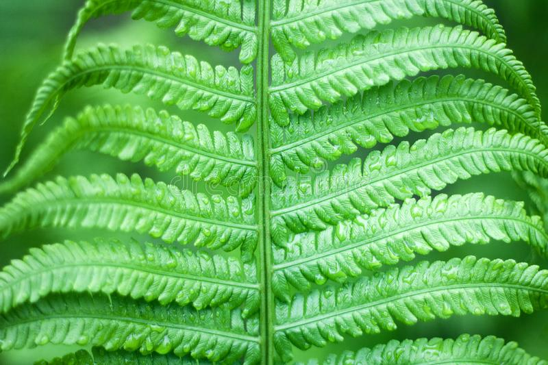 Close up of fresh bright green fern in spring with shallow depth of field royalty free stock images