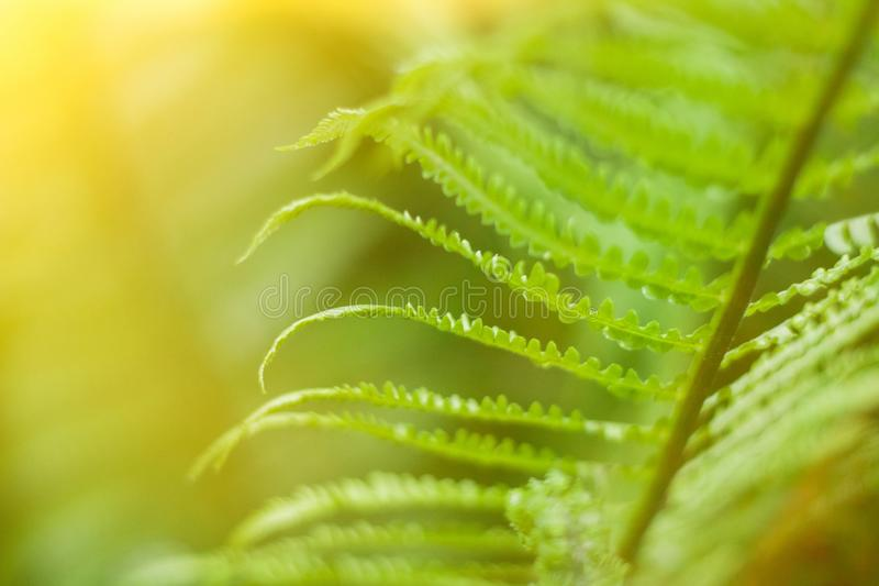 Close up of fresh bright green fern in spring with sun flare stock photos