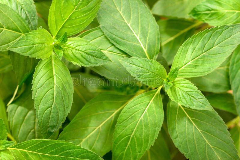 Fresh chinese wild mint leaves in the garden, top view stock images