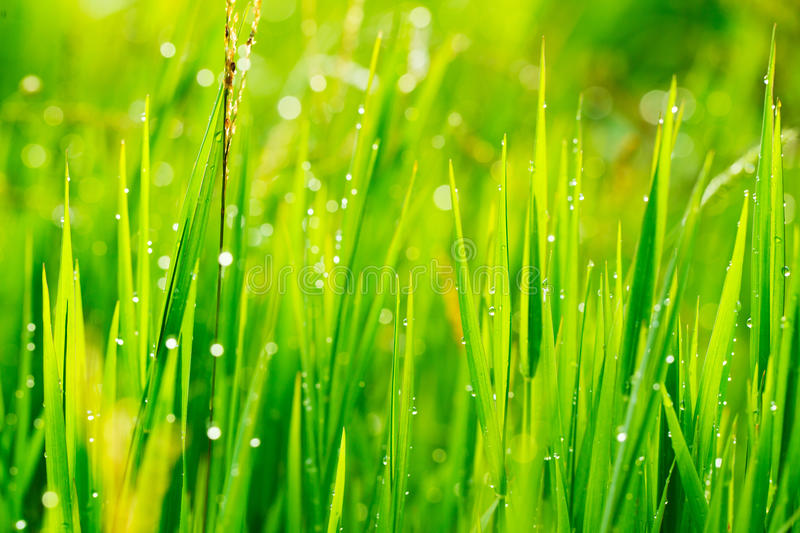 Download Close up of fresh grass stock image. Image of moist, field - 24763997