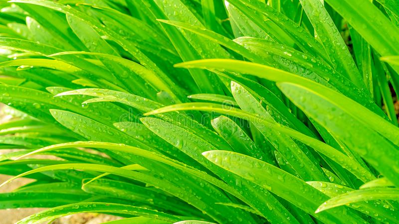 close up fresh green pandan leaf with water drop royalty free stock images