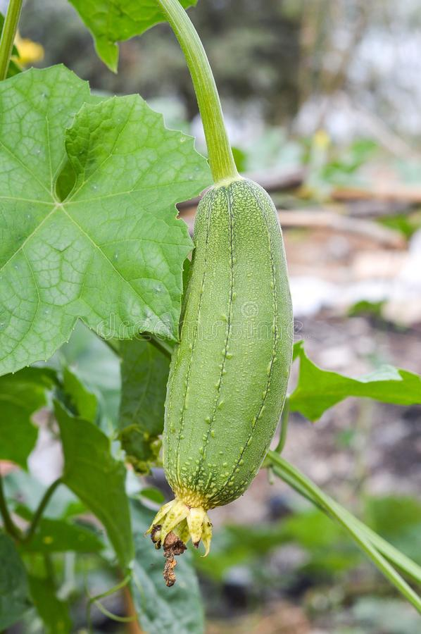 Fresh green Snake gourd fruit in nature garden stock images