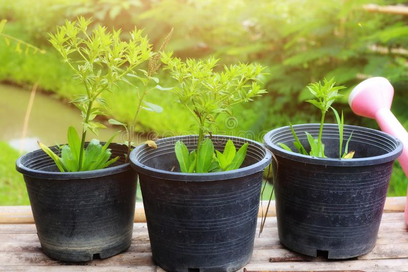 Close-up of fresh green vegetables, Eryngium foetidum, healthy herbs, grown in natural light pots in the morning. Eat stock image