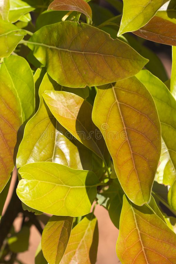 Close-up of fresh leaves of an avocado tree royalty free stock image