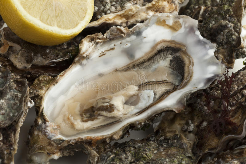 Close up of a fresh raw pacific oyster royalty free stock image