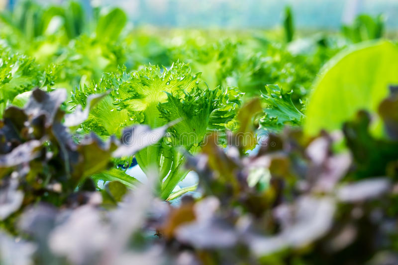 Close up fresh red coral lettuce. Vegetable in hydroponic farm royalty free stock images