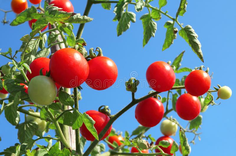 Close up of fresh red ripe tomatoes growing in the vegetable garden with beautiful blue sky background royalty free stock photo