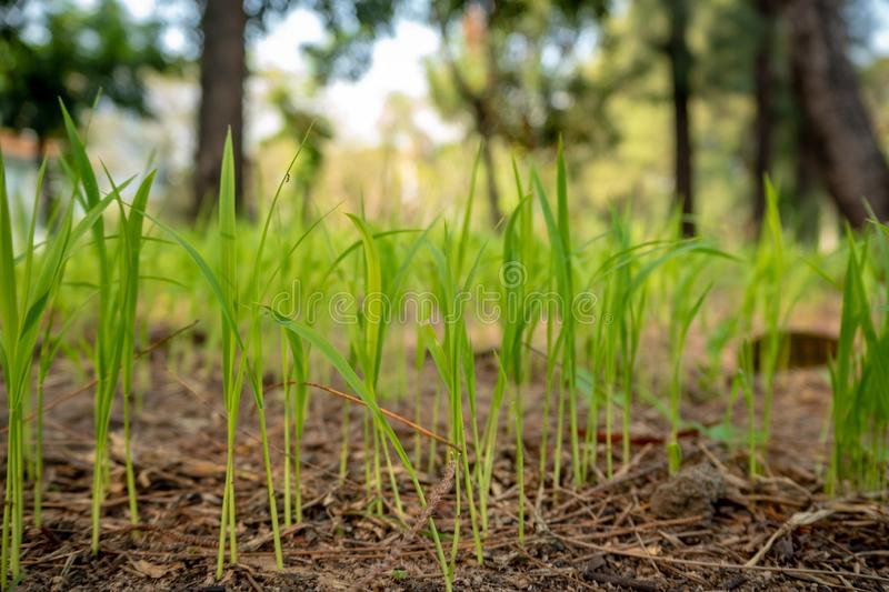 Close-up of seedlings are growing from ground on blurred trees background stock image