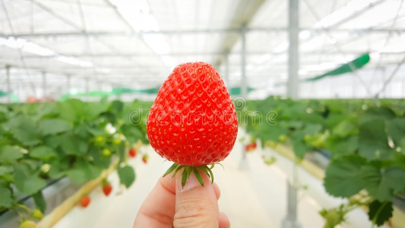 Close up fresh strawberry on hand. royalty free stock images