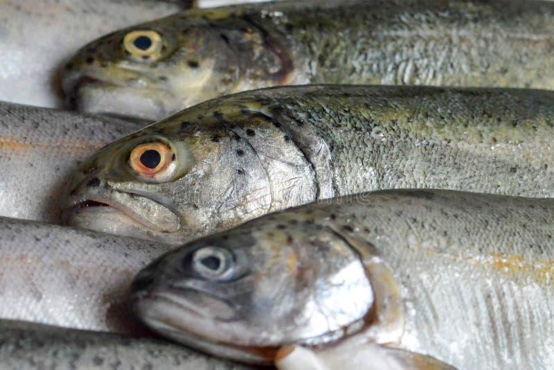Fresh trout fish stock photos