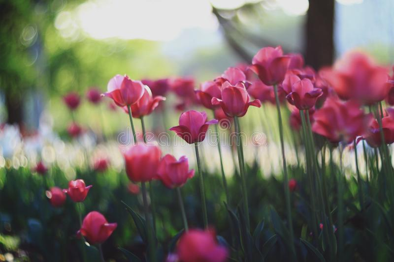 Close up of fresh tulip flowers growing in garden at daytime. Spring nature green plant red pink background beautiful season floral summer bloom blossom yellow stock image