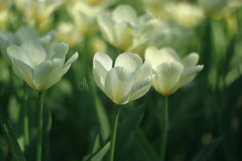 Close up of fresh tulip flowers growing in garden at daytime. Spring nature green plant red pink background beautiful season floral summer bloom blossom yellow royalty free stock image