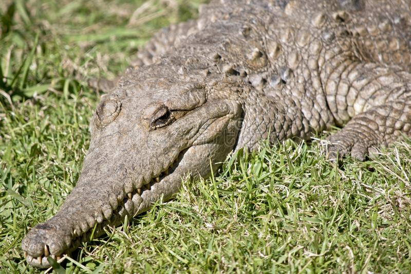 Fresh water crocodile. This is a close up of a fresh water crocodile royalty free stock photos