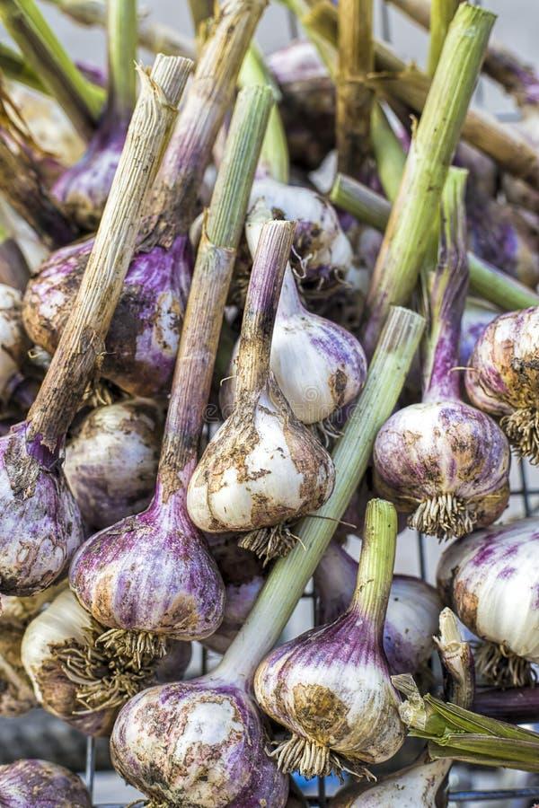 Close up of freshly picked garlic. A close up of freshly picked and cleaned garlic in a basket stock image