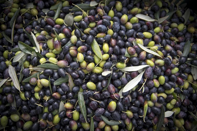 Close-up of freshly picked olives in the Italian countryside royalty free stock photo