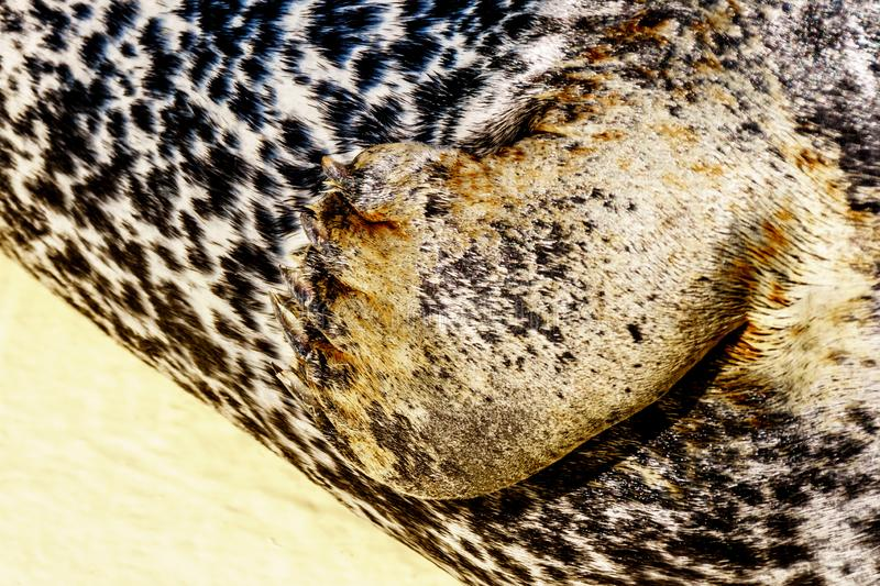 Close up of the Front Leg of a Harbor Seal. At Neeltje Jans island, at the Delta Works Surge Barrier in the province of Zeeland in the Netherland stock photos