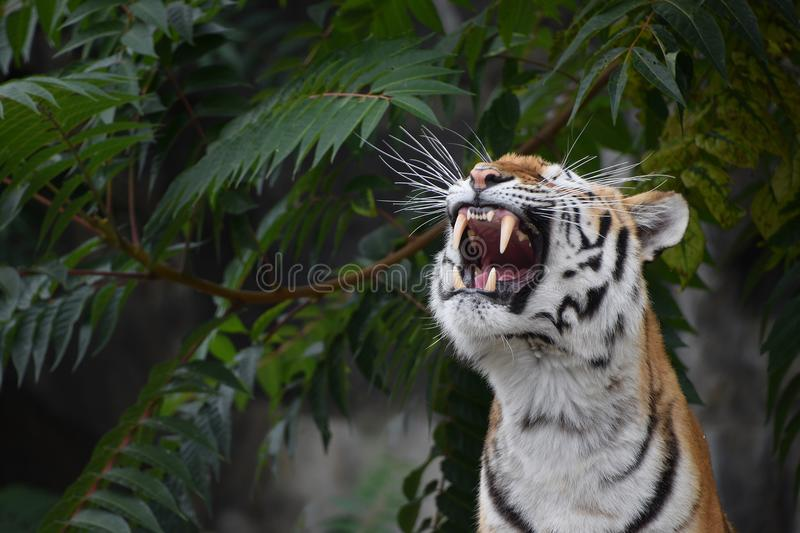 Close up portrait of Siberian Amur tiger. Close up front portrait of one young Siberian tiger Amur tiger, Panthera tigris altaica roaring, low angle view royalty free stock photo