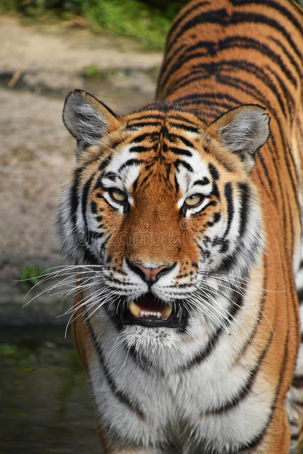 Close up front portrait of Siberian Amur tiger. Close up front portrait of one young Siberian tiger Amur tiger, Panthera tigris altaica standing in water and stock images