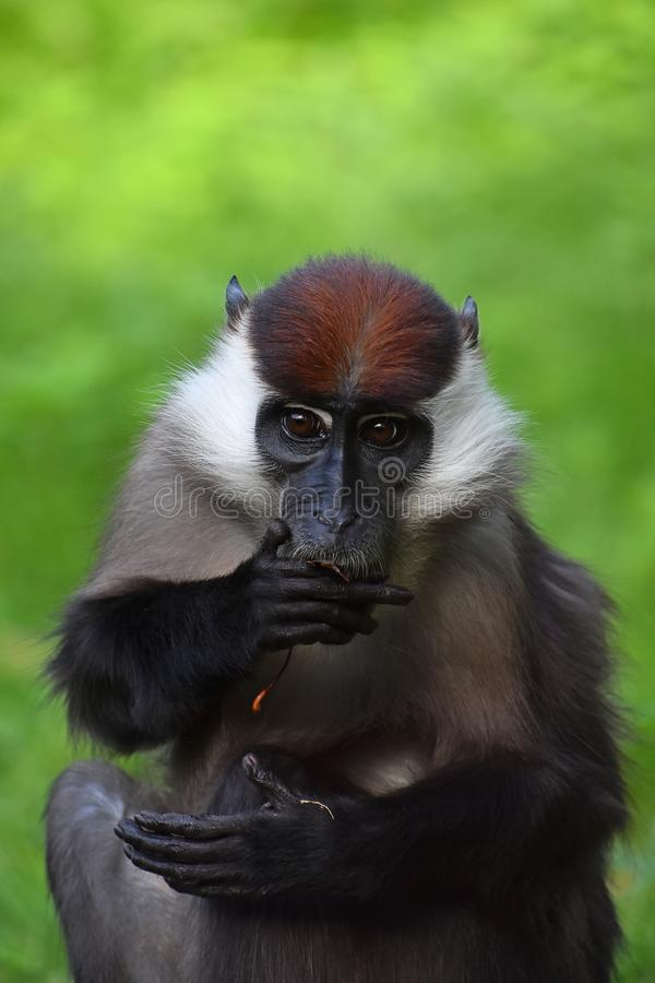 Close up portrait of collared mangabey royalty free stock photography