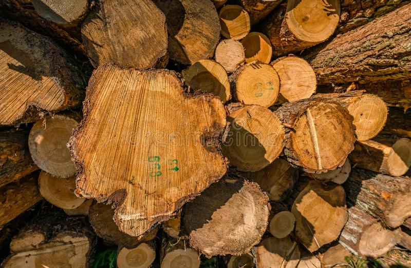 A close up front view of a pile of freshly cut trees striped of branches and prepared for the saw mill part of the logging stock photo