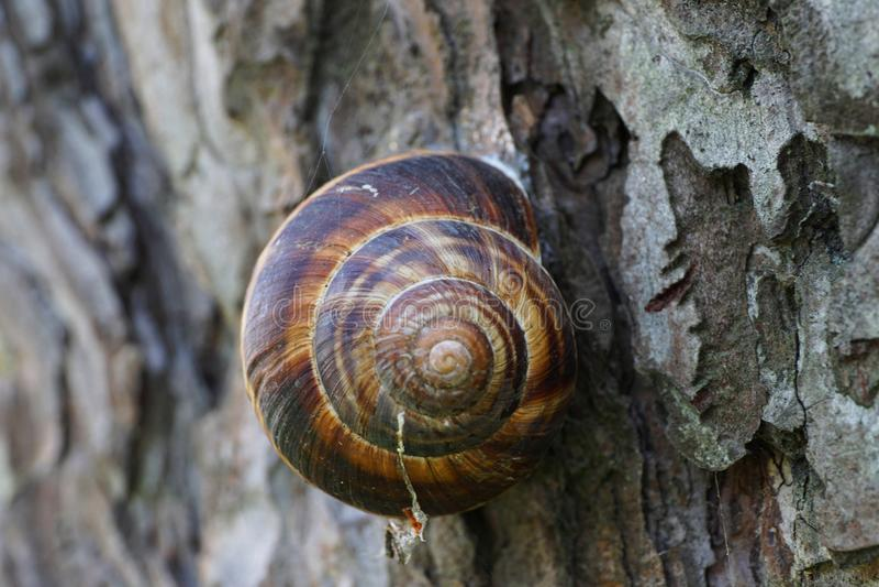 Close-up front view of a sleeping Caucasian grape snail Helix po. Close-up of a sleeping Caucasian grape snail Helix pomatia and its shell on the bark of Pinus stock photos