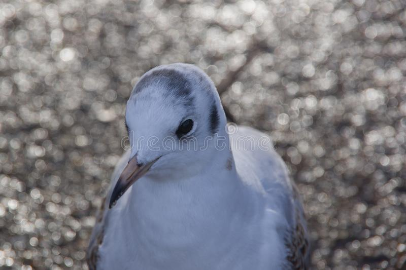 Close up front view of white pigeon head and upper body. Blurred background with bokeh. Animals in the United Kingdom royalty free stock photos