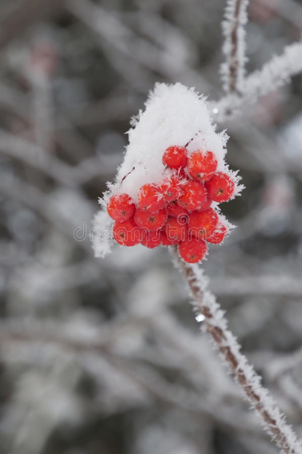 Close Up of Frosty Berries on Branch. Close up of snow covered orange mountain ash berries on a frosty branch. Individual snowflakes or ice crystals are seen royalty free stock photo