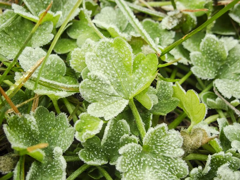 Frozen green leafs royalty free stock photography