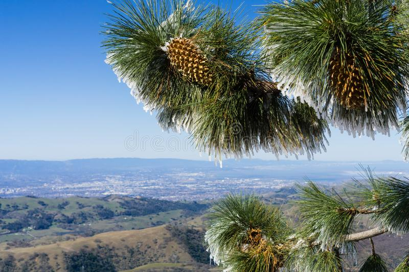 Close up of frozen pine needles and cones, on a cold winter day on top of Mt Hamilton, San Francisco bay area in the background, royalty free stock photos